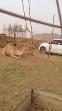 في واقعة وحشية ومرتكبها عديم الضمير بالفيديو.. مواطن سعودي يقتل جملاً رمياً بالرصاص