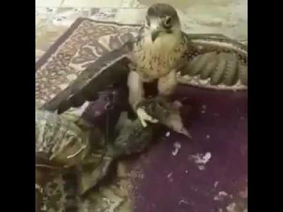 فيديو صادم يظهر صقر وهو يلتهم قطة حية وصاحبه يكتفي بالتصوير ويثير جدلاً واسعاً